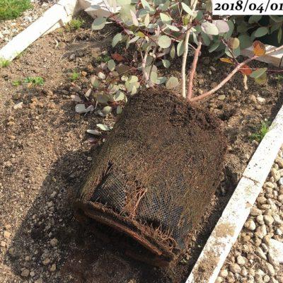 ユーカリポポラス植替え、根鉢