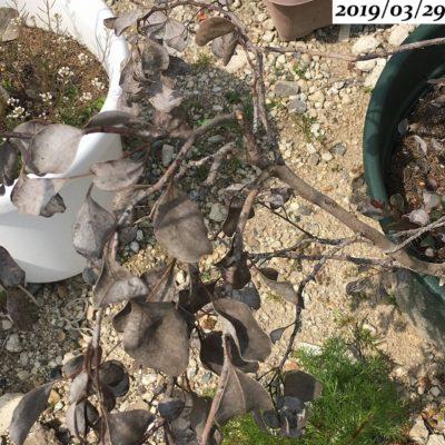 ユーカリポポラス枯れた葉