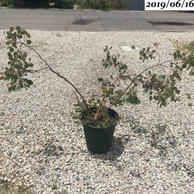 ユーカリポポラス樹形が崩れる