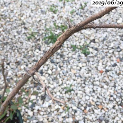 ユーカリポポラスの枝