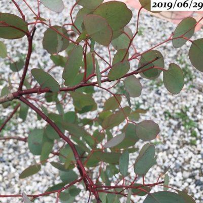 ユーカリポポラス赤い枝