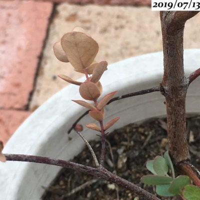 ユーカリグニー葉が枯れる