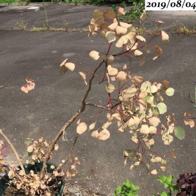 ユーカリポポラス葉がパリパリ