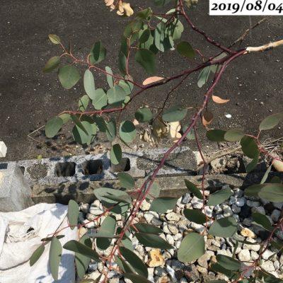 ユーカリポポラス鉢植え