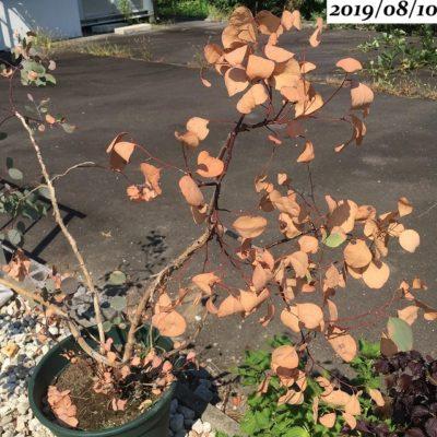 ユーカリポポラス葉が茶色い