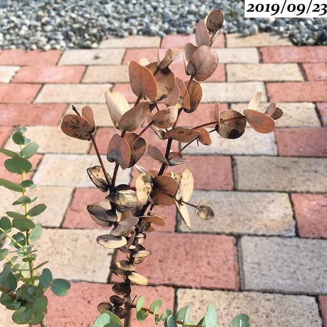 ユーカリグニー葉が茶色い