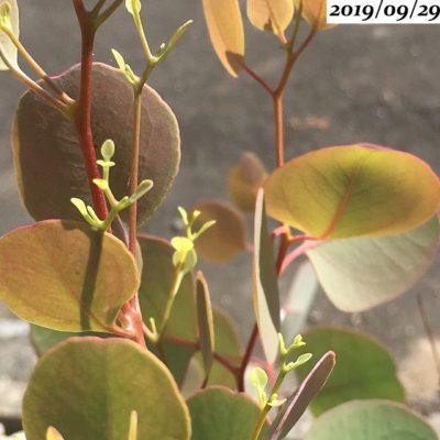 ユーカリポポラス葉芽