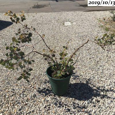ユーカリポポラス樹形が悪い