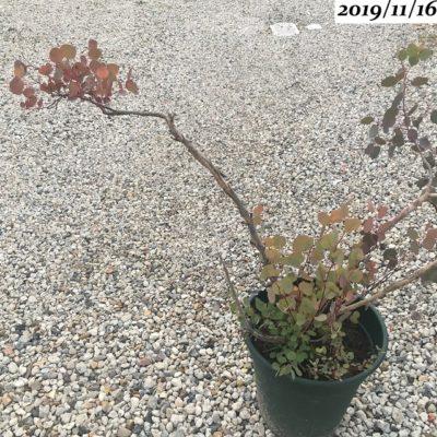 ユーカリポポラス葉が赤い