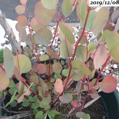 ユーカリポポラス茎が赤い