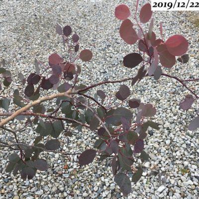 ユーカリポポラス12月、赤い葉
