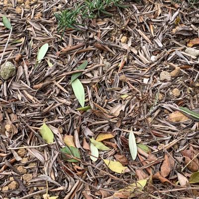 オリーブ落葉