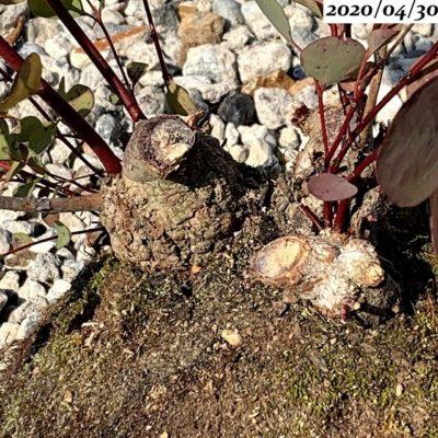 ユーカリポポラス植え替え、根鉢