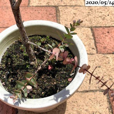 ユーカリグニー鉢植え