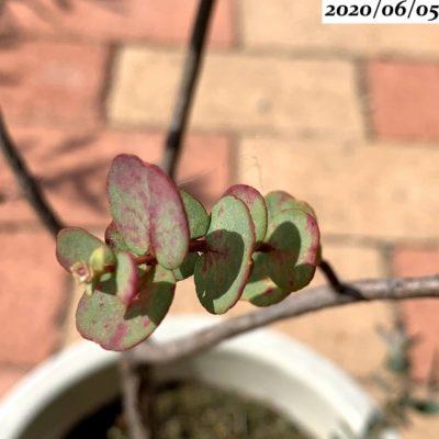 ユーカリグニー葉が赤い