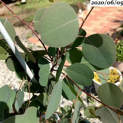 ユーカリポポラス丸い葉