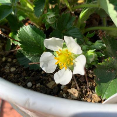 イチゴ宝交早生の花