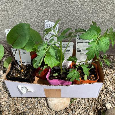 ミニトマト、キュウリ、ナス苗