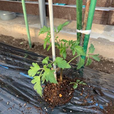 ミニトマトのピンキー、定植