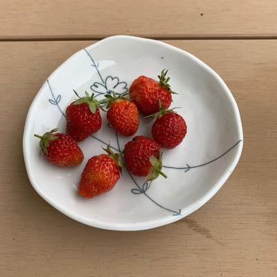 イチゴ宝交早生の収穫