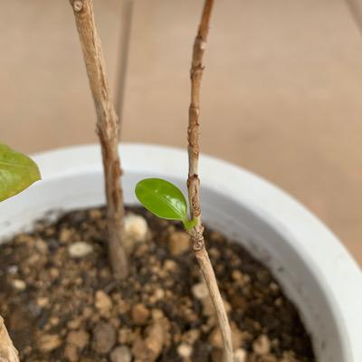 コーヒーの木 新芽