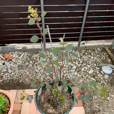 ユーカリポポラスの鉢植え